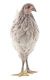 灰色母鸡 免版税图库摄影