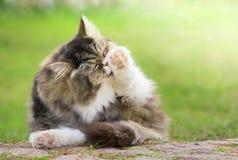 灰色毛茸的猫在绿色庭院里清洗了户外 库存图片