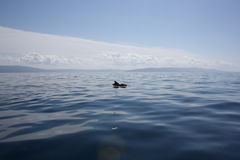 灰色海豚在亚得里亚海在克罗地亚 库存图片
