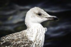 灰色海鸥 免版税库存图片
