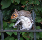 灰色灰鼠乞求为食物 库存照片