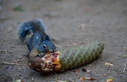 灰色灰鼠吃pinecone在优胜美地国家公园 免版税库存图片