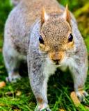 灰色灰鼠在公园 库存照片