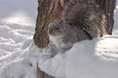 灰色灰鼠在冬天 免版税图库摄影