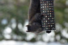 灰色灰鼠在冬天 免版税库存照片