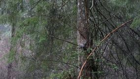 灰色灰鼠在森林边缘附近爬行 影视素材