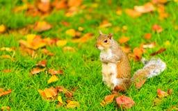 灰色灰鼠在秋天公园 免版税库存照片