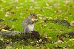 灰色灰鼠在秋天 免版税库存照片