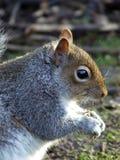 灰色灰鼠边画象哺养 免版税库存图片