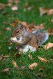 灰色灰鼠野生生物 免版税库存图片