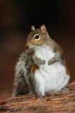灰色灰鼠,中型松鼠carolinensis,在森林地面的逗人喜爱的动物,佛罗里达,美国 免版税库存照片