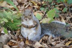 灰色灰鼠,秋天天 免版税库存图片