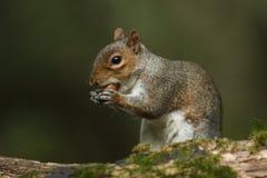 灰色灰鼠& x28; 中型松鼠carolinensis& x29;吃橡子 免版税图库摄影