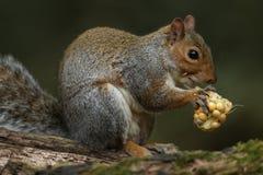 灰色灰鼠& x28; 中型松鼠carolinensis& x29;吃玉米棒子 库存照片