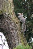 灰色灰鼠(中型松鼠carolinensis)运载的年轻人 库存照片
