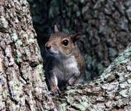 灰色灰鼠(中型松鼠carolinensis) 免版税库存照片