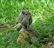 灰色灰鼠(中型松鼠carolinensis) 库存图片