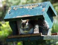 灰色灰鼠(中型松鼠carolinensis) 库存照片