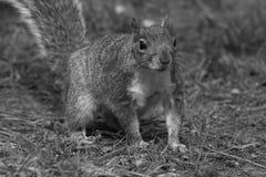 灰色灰鼠 图库摄影