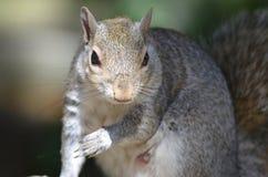 灰色灰鼠 库存图片