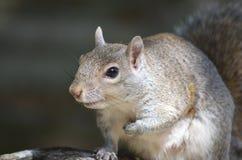 灰色灰鼠 免版税库存照片