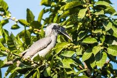 灰色犀鸟 免版税库存图片