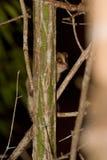 灰色狐猴鼠标 库存照片
