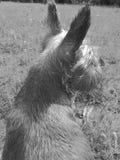 灰色狗 图库摄影