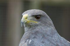 灰色猎鹰画象 库存图片