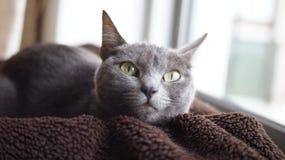 灰色猫休息 免版税库存图片