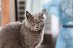 灰色猫凉快的面孔 免版税库存图片