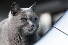 灰色猫凉快的面孔 免版税库存照片