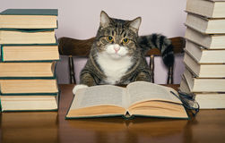 灰色猫和书 免版税库存照片
