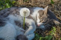 灰色猫和蒲公英 免版税库存图片
