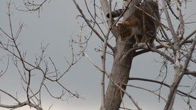 灰色猫在一棵干燥树爬上了 股票视频