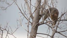 灰色猫在一棵干燥树爬上了 股票录像