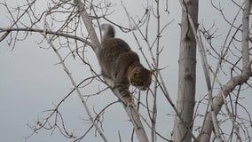 灰色猫在一棵干燥树爬上了 影视素材