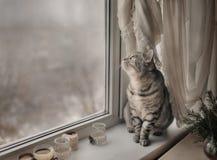 灰色猫在冬天窗口里 免版税库存图片