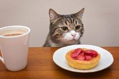 灰色猫在桌上 免版税库存图片