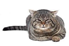 灰色猫在白色背景和看说谎c 免版税库存图片