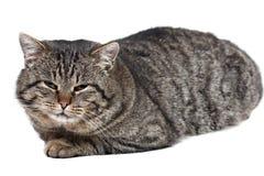 灰色猫在白色背景和看说谎c 库存照片