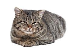 灰色猫在白色背景和看说谎c 图库摄影