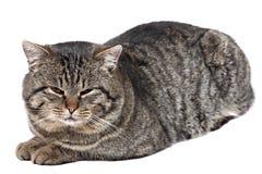 灰色猫在白色背景和看说谎c 免版税库存照片