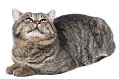 灰色猫在白色背景和看说谎t 库存图片