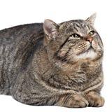 灰色猫在白色背景和看说谎t 图库摄影