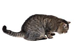 灰色猫在白色背景说谎 库存图片