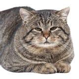 灰色猫在白色背景说谎 免版税库存照片