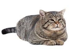 灰色猫在白色背景说谎 图库摄影