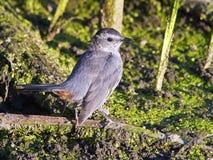 灰色猫声鸟在沼泽 库存图片