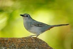 灰色猫声鸟, Dumetella carolinensis,鸟的监视人在中美洲 从自然,伯利兹的野生生物场面 在自然的灰色鸟 库存照片